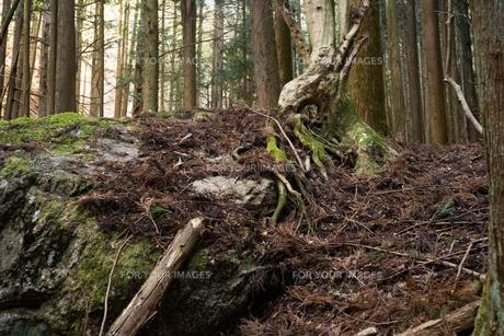 大きな岩に根を張った樹木の写真素材 [FYI01241848]