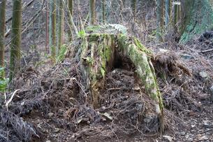根が立派な切り株の写真素材 [FYI01241851]