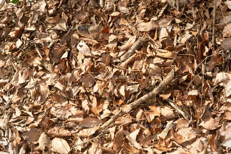 地面を覆いつくす枯れ葉の写真素材 [FYI01241862]