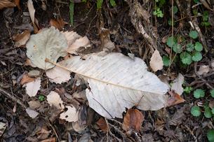 一枚だけ大きめな落ち葉の写真素材 [FYI01241864]