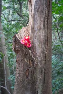 木の裂けめに植えられたツバキの花びらの写真素材 [FYI01241865]