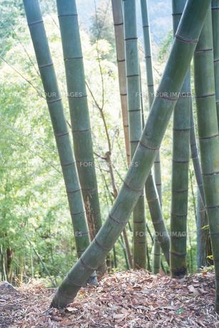 竹林の中で一本だけ特に曲がって生えている竹の写真素材 [FYI01241868]