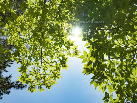 緑の透過光の写真素材 [FYI01241907]