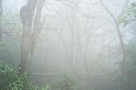 森が霧に包まれているの写真素材 [FYI01241914]