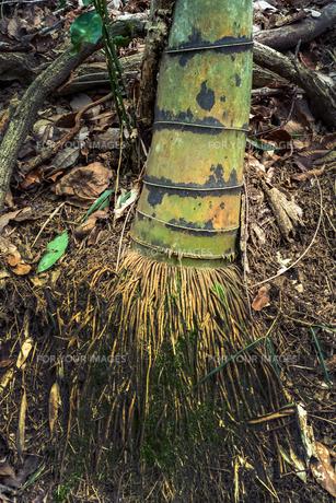 竹の根元の写真素材 [FYI01241940]