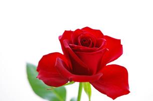 赤いバラの写真素材 [FYI01241947]