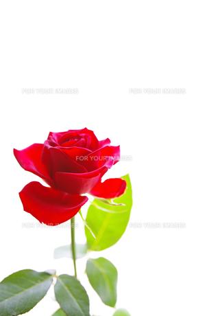 赤いバラの写真素材 [FYI01241948]