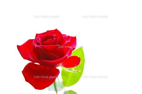 赤いバラの写真素材 [FYI01241949]
