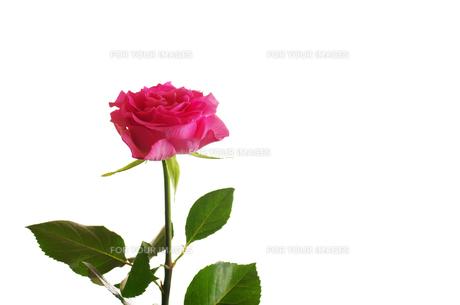 赤いバラの写真素材 [FYI01241950]