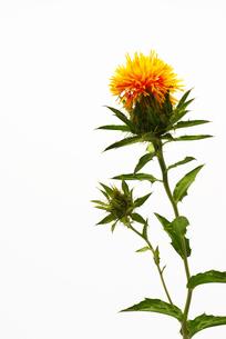 紅花の写真素材 [FYI01241953]