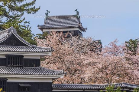 春の松江城の風景の写真素材 [FYI01241959]