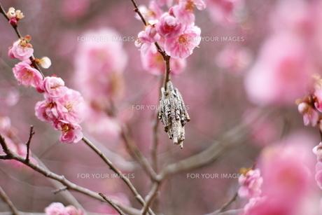 梅の写真素材 [FYI01241975]