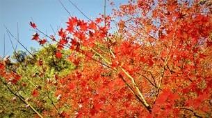 赤い紅葉の写真素材 [FYI01242009]