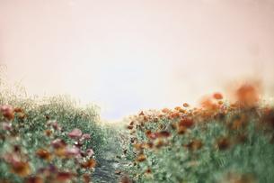 光の道しるべへと咲き続くポピーの花畑の写真素材 [FYI01242054]
