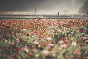 朝焼けの色を奪う一面のポピー畑の写真素材 [FYI01242057]