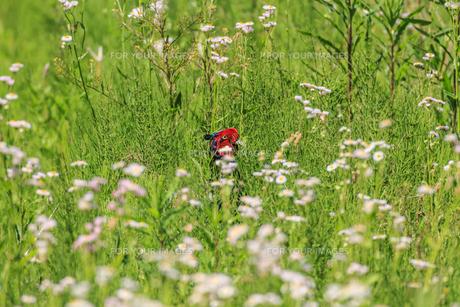 春の草の中の雉の写真素材 [FYI01242068]