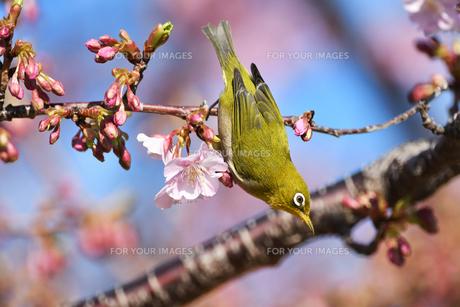 河津桜とメジロの写真素材 [FYI01242161]