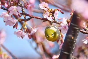 河津桜とメジロの写真素材 [FYI01242163]