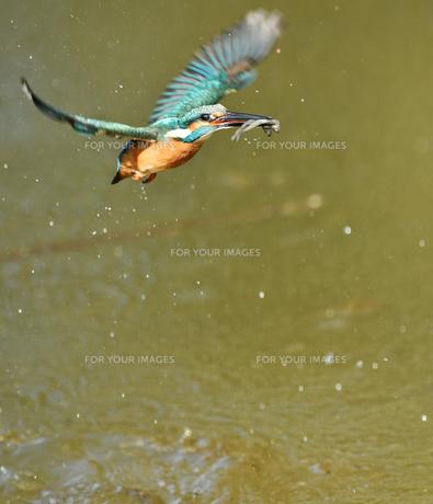 カワセミの捕食の写真素材 [FYI01242373]