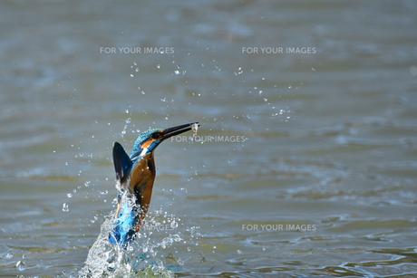 カワセミの捕食の写真素材 [FYI01242374]