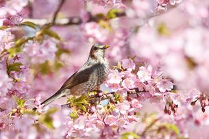 河津桜とヒヨドリの写真素材 [FYI01242387]