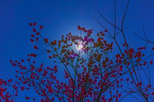 桜の花で太陽を隠した花粉光環の写真素材 [FYI01242397]