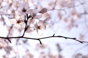 桜の花のクローズアップの写真素材 [FYI01242464]