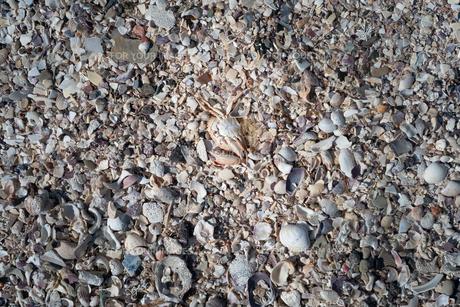 貝殻に交じってカニが落ちているの写真素材 [FYI01242510]