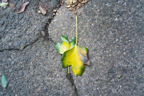 二枚の瑞々しい葉っぱが地面に重なり合って落ちているの写真素材 [FYI01242528]