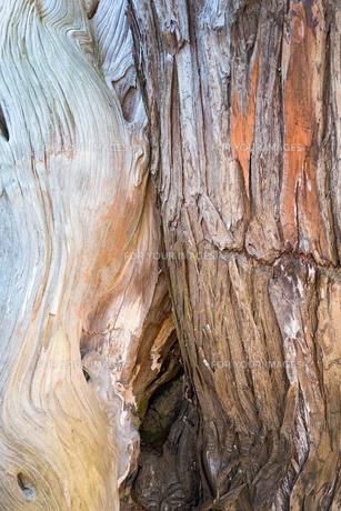 大きな一本の木の二種類の幹の表面の写真素材 [FYI01242562]
