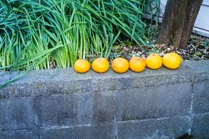 柑橘類は6つ置かれているの写真素材 [FYI01242563]