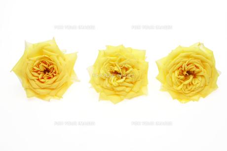 薔薇の写真素材 [FYI01242997]