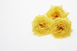 薔薇の写真素材 [FYI01242998]