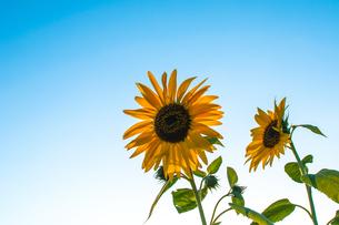 向日葵と青空の写真素材 [FYI01243120]