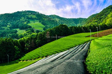 晴天の茶畑の写真素材 [FYI01243130]