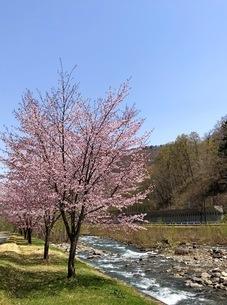 尾瀬の山に咲く桜と山々の写真素材 [FYI01243211]