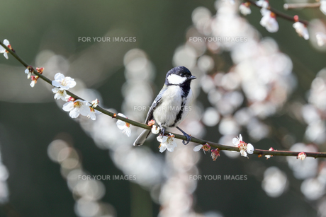梅の枝にとまるシジュウカラの写真素材 [FYI01243281]