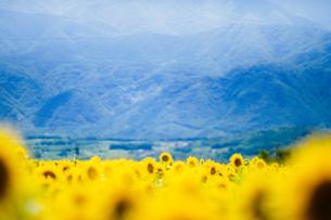 甲府山麓を背に一面を覆う夏の向日葵の写真素材 [FYI01243370]