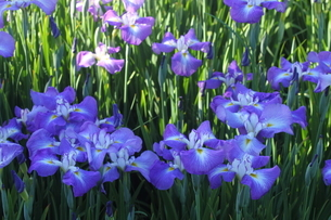 花菖蒲の写真素材 [FYI01243577]
