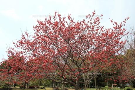 八重寒緋桜の写真素材 [FYI01243589]
