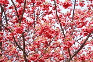 八重寒緋桜の写真素材 [FYI01243591]