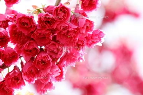 八重寒緋桜の写真素材 [FYI01243592]