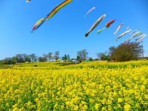 黄色い菜の花畑の向こうに鯉のぼりが見える風景の写真素材 [FYI01243670]