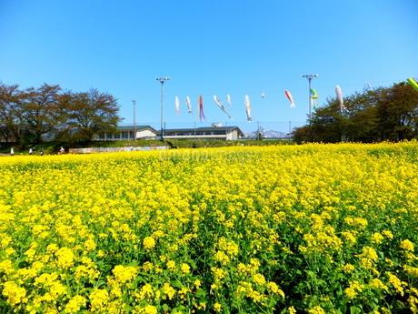 黄色い菜の花畑の向こうに鯉のぼりが見える風景の写真素材 [FYI01243672]