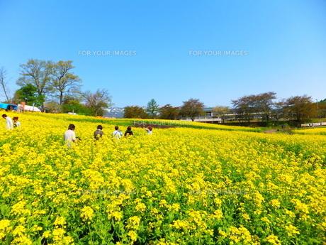 黄色い菜の花畑と青空の写真素材 [FYI01243676]