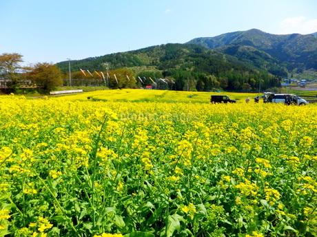 菜の花畑の向こうに鯉のぼりが見える風景の写真素材 [FYI01243678]