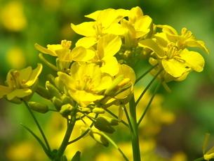 黄色の鮮やかな菜の花の写真素材 [FYI01243684]