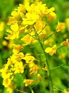 黄色の鮮やかな菜の花の写真素材 [FYI01243686]