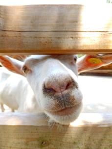 柵の隙間から顔を出しているヤギの写真素材 [FYI01243687]