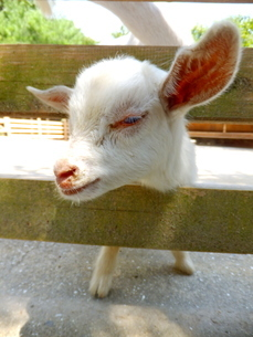 柵の隙間から顔を出している子ヤギの写真素材 [FYI01243688]